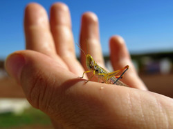 Colorfull grashopper in hand