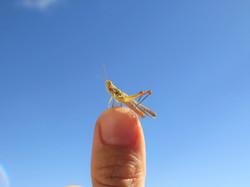 Little colourfull grashopper
