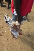 Chicken that is just bought, local market, Kotido, Karamo