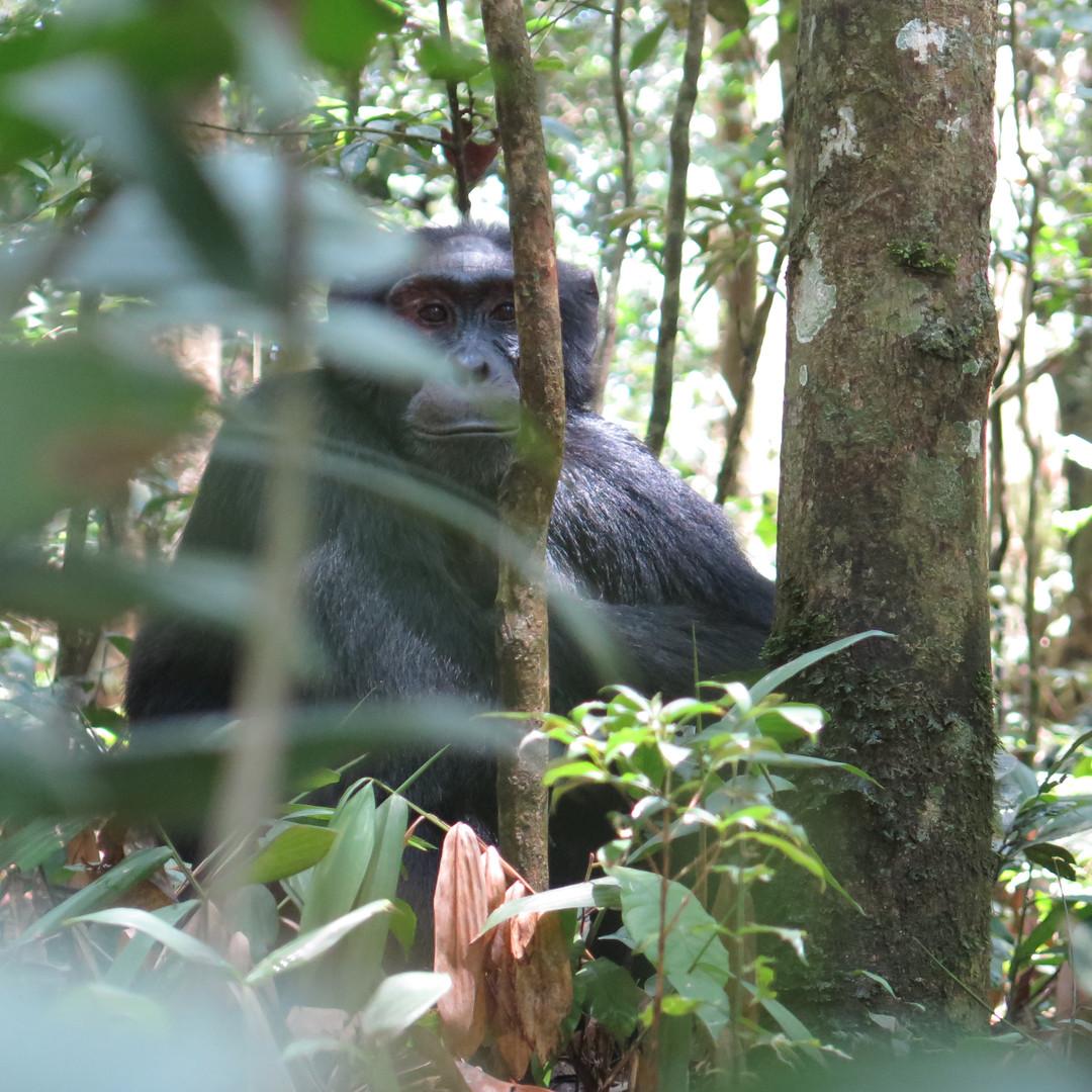 Chimpanzee in Kibale Forest, Uganda