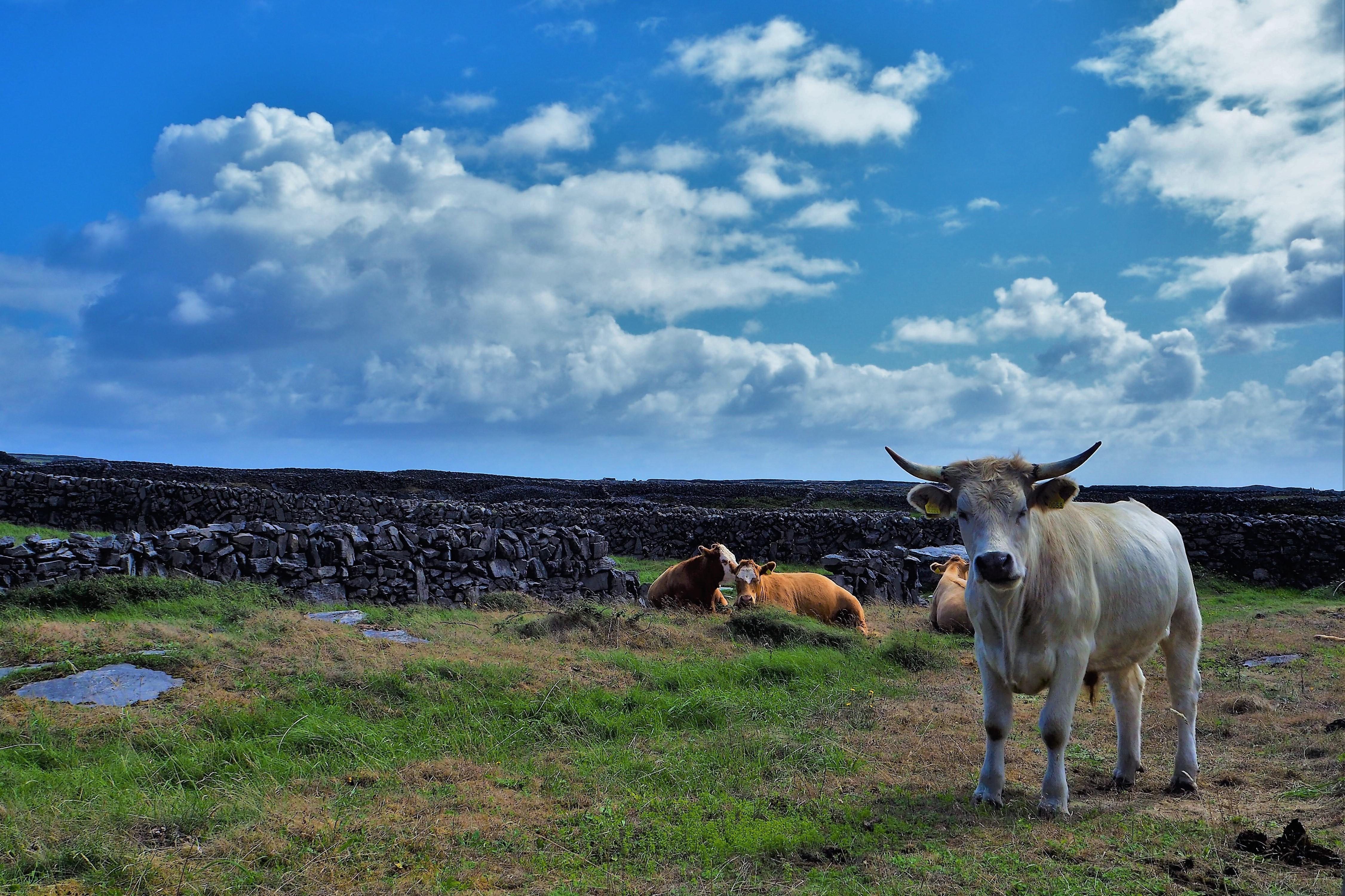 Big cow at Inish Mor