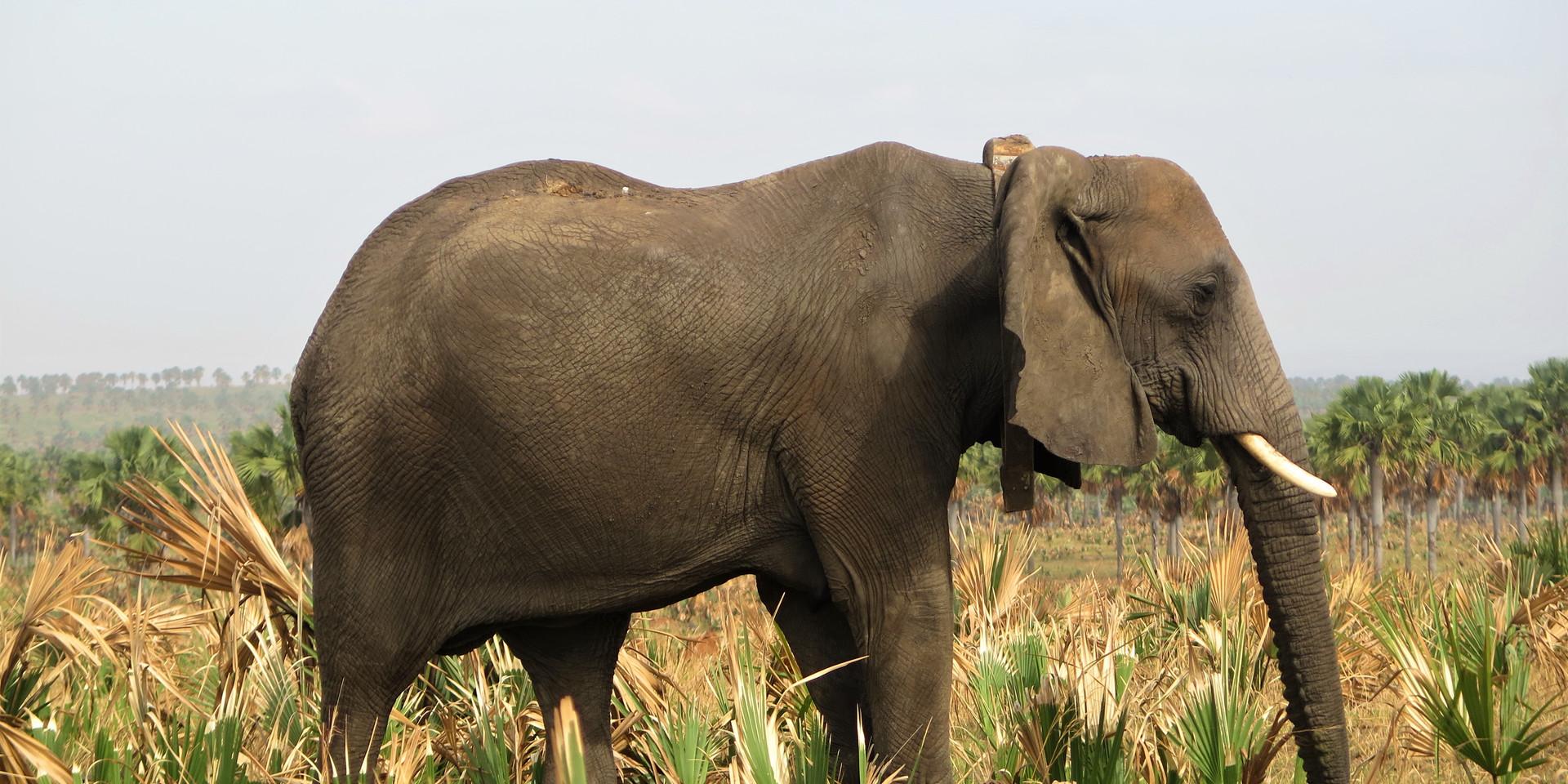 Big elephant in Murchison Falls, Uganda