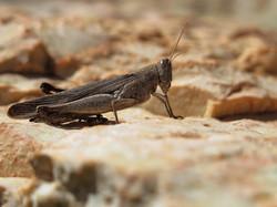 Brown grashopper, Western Australia