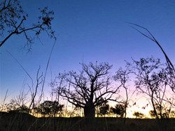 A boaptree at sunset time in Western Australia