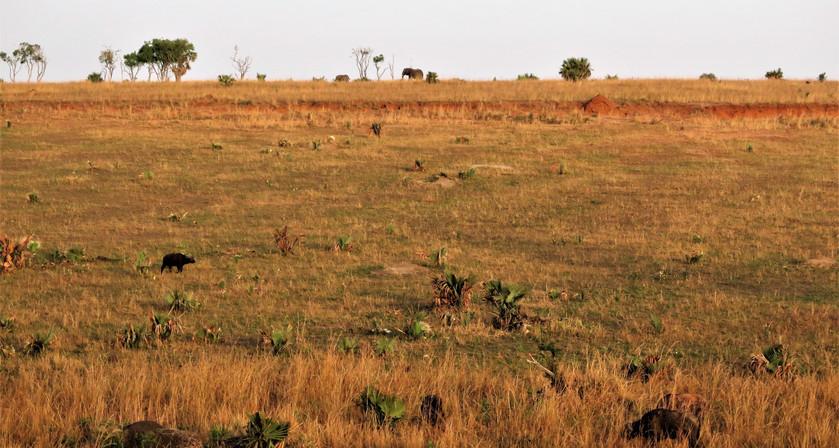 Wild animals like elephant in Murchison Falls National Park, Uganda