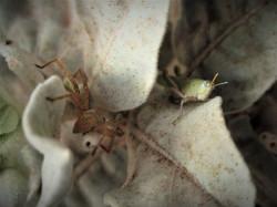 Green grashopper and spider