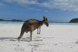 Kangeroo Windlife on white beach at Lucky Bay - Esperance