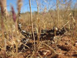 Beautiful shot Thorny Devil in the desert of the  Western Cape Australia