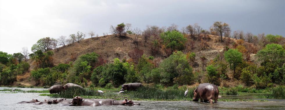 Hippo's in Murchison Falls National Park, Uganda