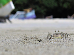 Little crab on beach in Lombok, Indo
