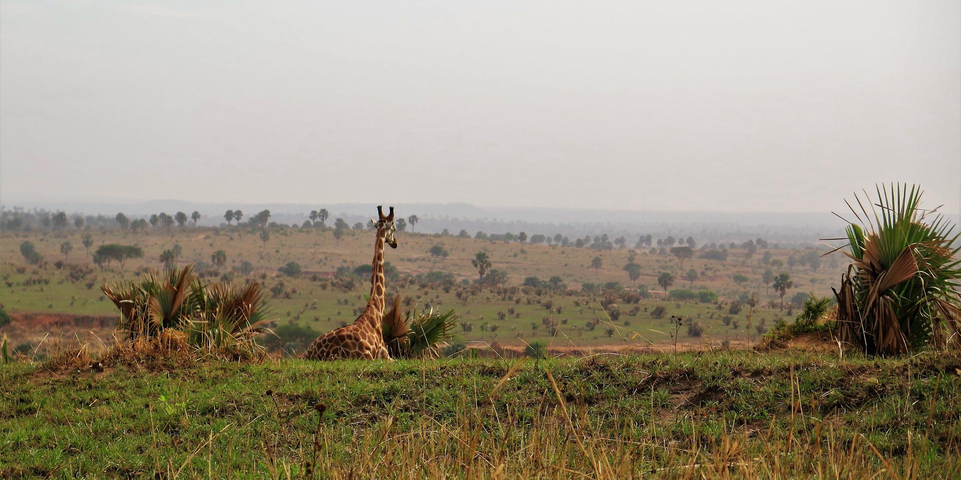 Giraffe in Murchison Falls, Uganda