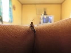 Grashopper on arm watching tv