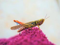 Colourfull grashopper, Australia
