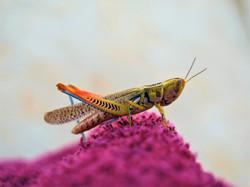 Colorfull grashopper desert Australia
