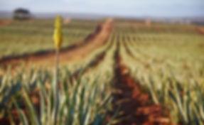 Aloe01.jpg