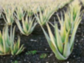 Aloe-Vera-Cover-Photo.png