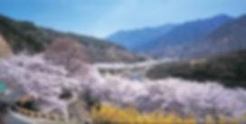 하동벚꽃.jpg