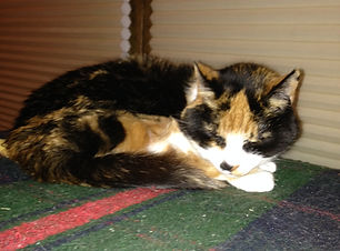 """Phd (""""fudd"""") was our first calico cat and is contentedly sleeping in our house inWestfield, IN"""