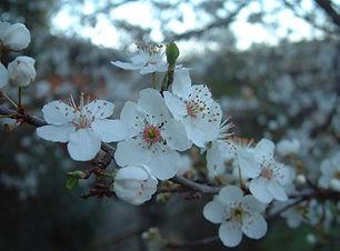 clustered pretty white flowers on a shrub 5-3-06.JPG