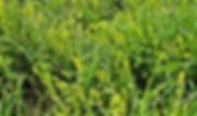 5. Crosswort Cruciata laevipes16th May 2