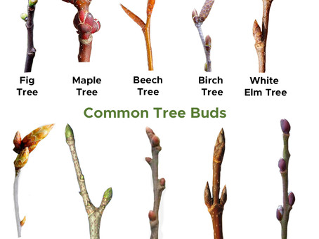 Tree Bud Identification for Young Children