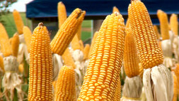 AgroBrasília 2018 é palco de inovação das cultivares