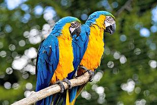 escaped-pet-birds-are-teaching-wild-bird