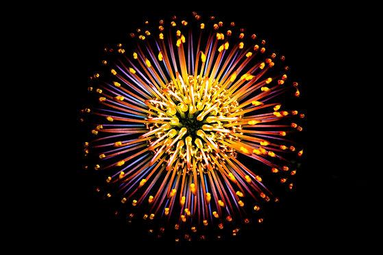 Leucospermum vestitum 1 web.jpg