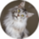 lucky-pet-cat-breed-maine-coon.png