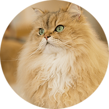 lucky-pet-cat-breed-persian.png