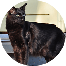 lucky-pet-cat-breed-oriental-longhair.pn