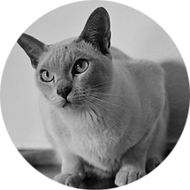 lucky-pet-cat-breed-burmese.png