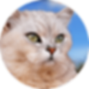lucky-pet-cat-breed-burmilla.png