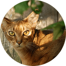lucky-pet-cat-breed-abyssinian.png
