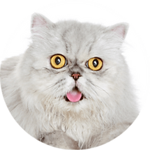 lucky-pet-cat-breed-peke-face.png