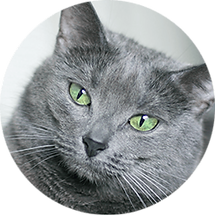 lucky-pet-cat-breed-russian-blue.png