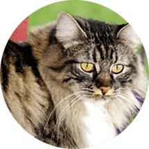 lucky-pet-cat-breed-the-manx.png