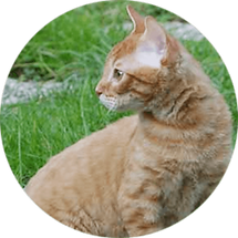 lucky-pet-cat-breed-german-rex.png