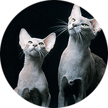 lucky-pet-cat-breed-oriental-shorthair.p