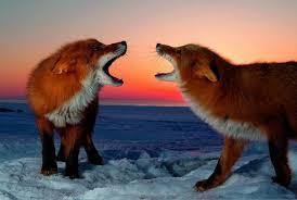 Регулирование численности лисицы 2019