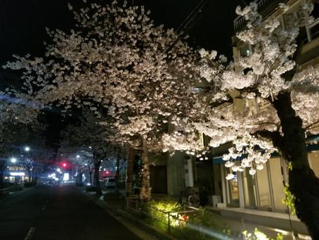 事務所近くの桜満開