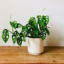 """""""Swiss Cheese"""" Philodendron"""