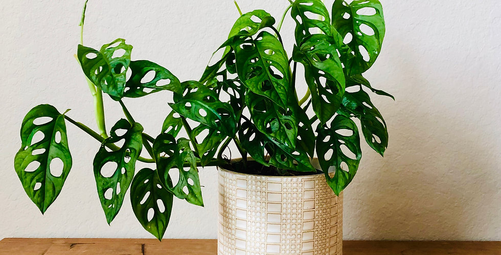 """Swiss Cheese"" Philodendron"