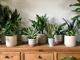 Air Purifying Plant Variety Subscription Delivered Weekly