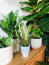 Air Purifying Plant Subscription Delivered Monthly