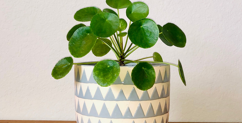 """Peperomia Pilea """"Money Plant"""""""