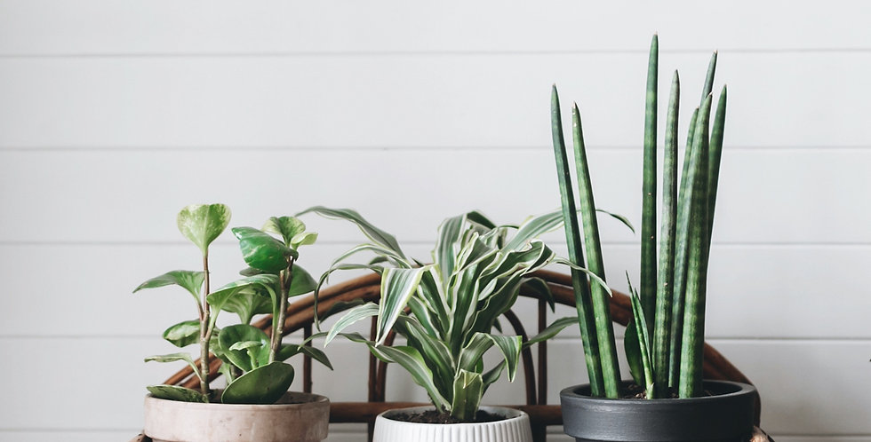 Medium Air Purifying Plant Subscription Delivered Monthly
