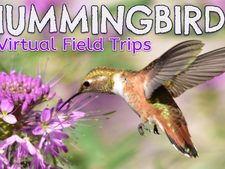 Hummingbirds 🌹🚍 Virtual Field Trips