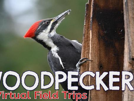Woodpecker 🚍 Virtual Field Trips