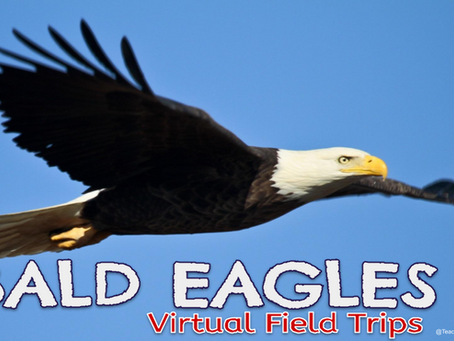 Bald Eagle 🦅🚍 Virtual Field Trips